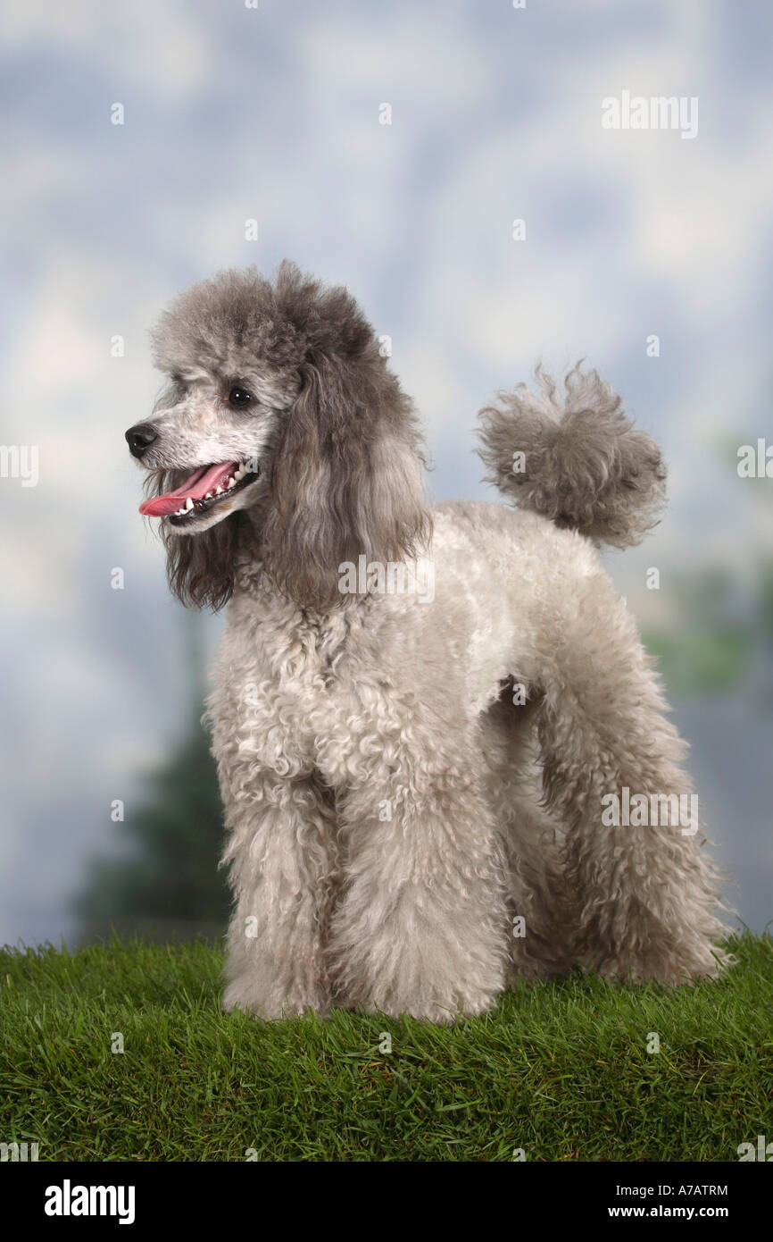 Silver Poodle High Resolution Stock Photography And Images Alamy