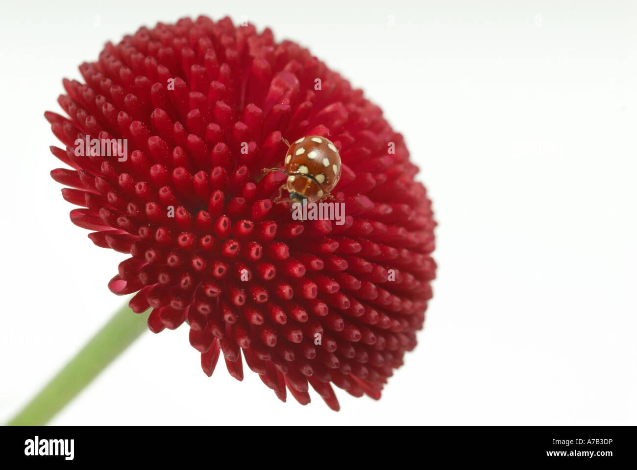 sixteen '16 spot' ladybird on a red daisy flower - Stock Image