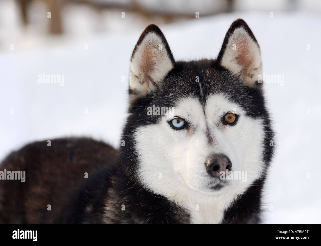 Blue And Brown Eyed Siberian Husky Standing In Snow At A Sled Dog