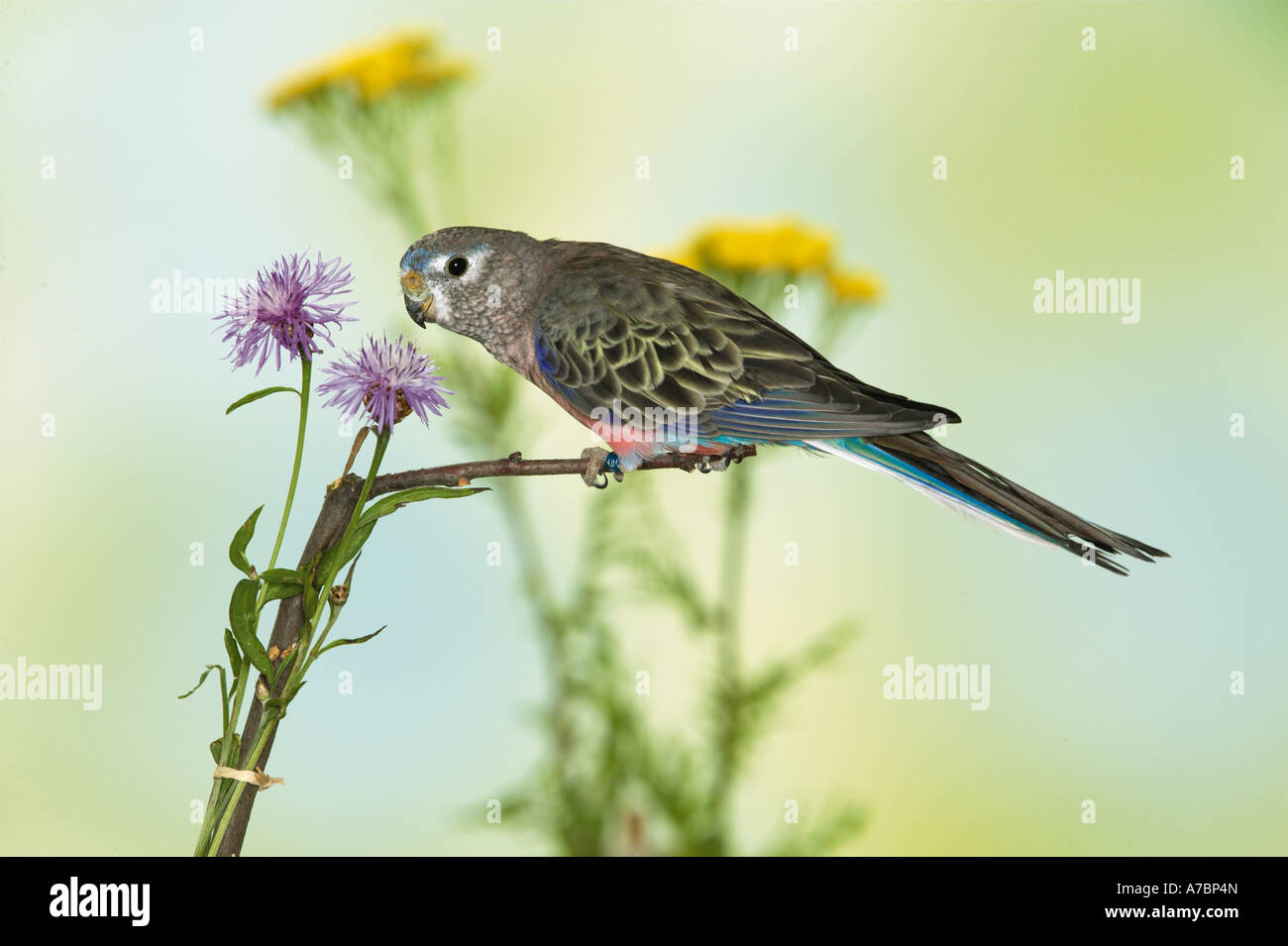 Bourke s Parrot on twig beside a flower Neopsephotus bourkii Stock Photo