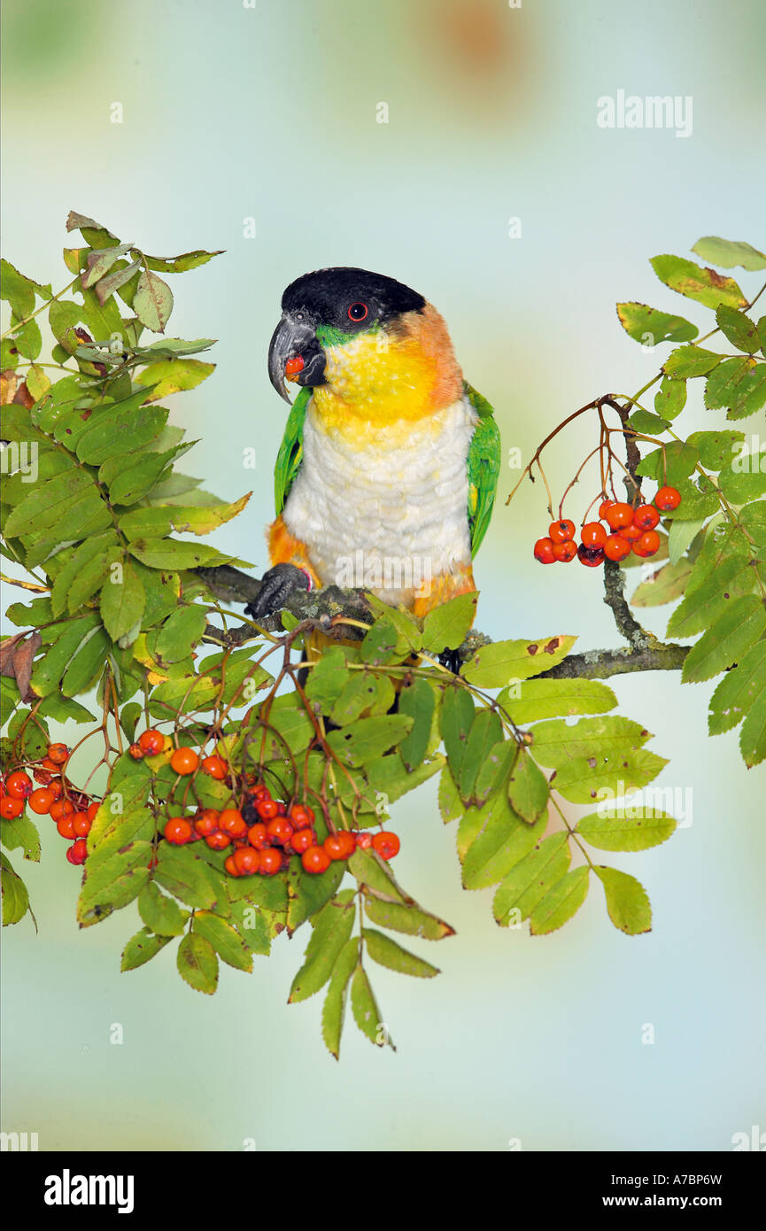 Black headed Caique on branch Pionites melanocephala - Stock Image