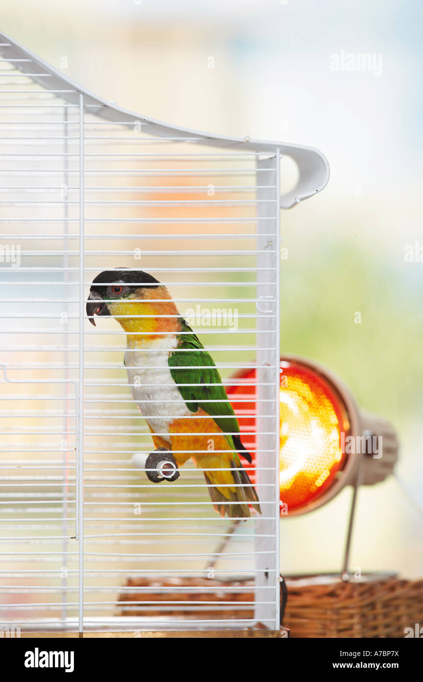 Black headed Caique in cage Pionites melanocephala - Stock Image