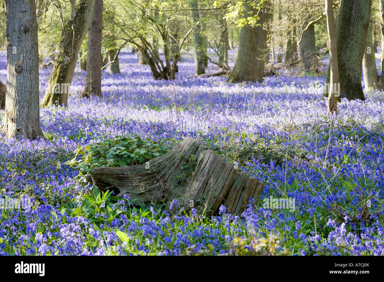 Bluebells carpet oak woodland, Hambleden, Bucks., UK. Stock Photo