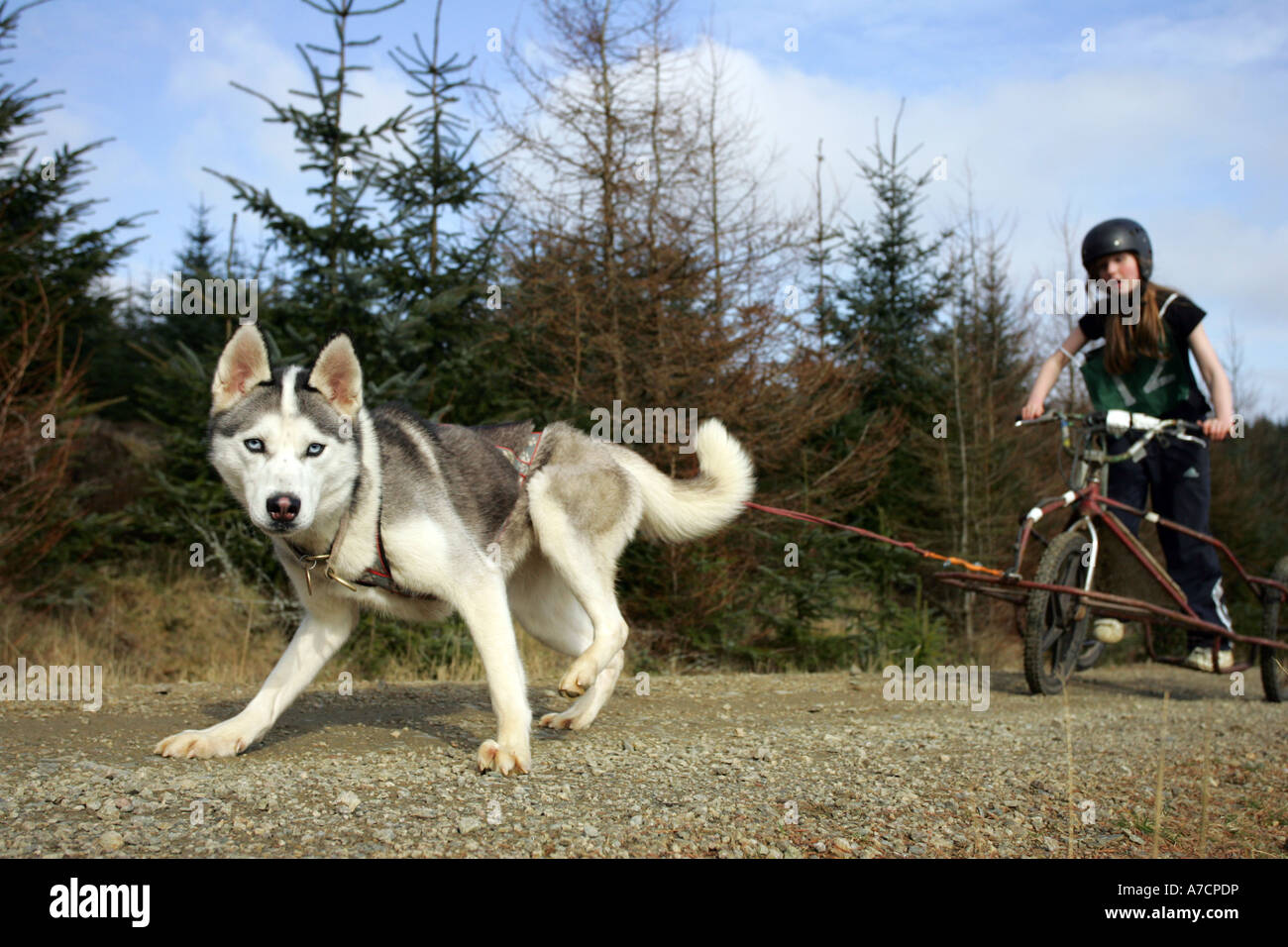 Boy competes in Husky racing at Fetteresso Forest near Stonehaven, Aberdeenshire, Scotland UK - Stock Image