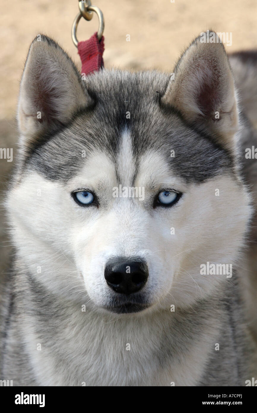 Close Up Of Racing Husky Face With Blue Eyes Stock Photo