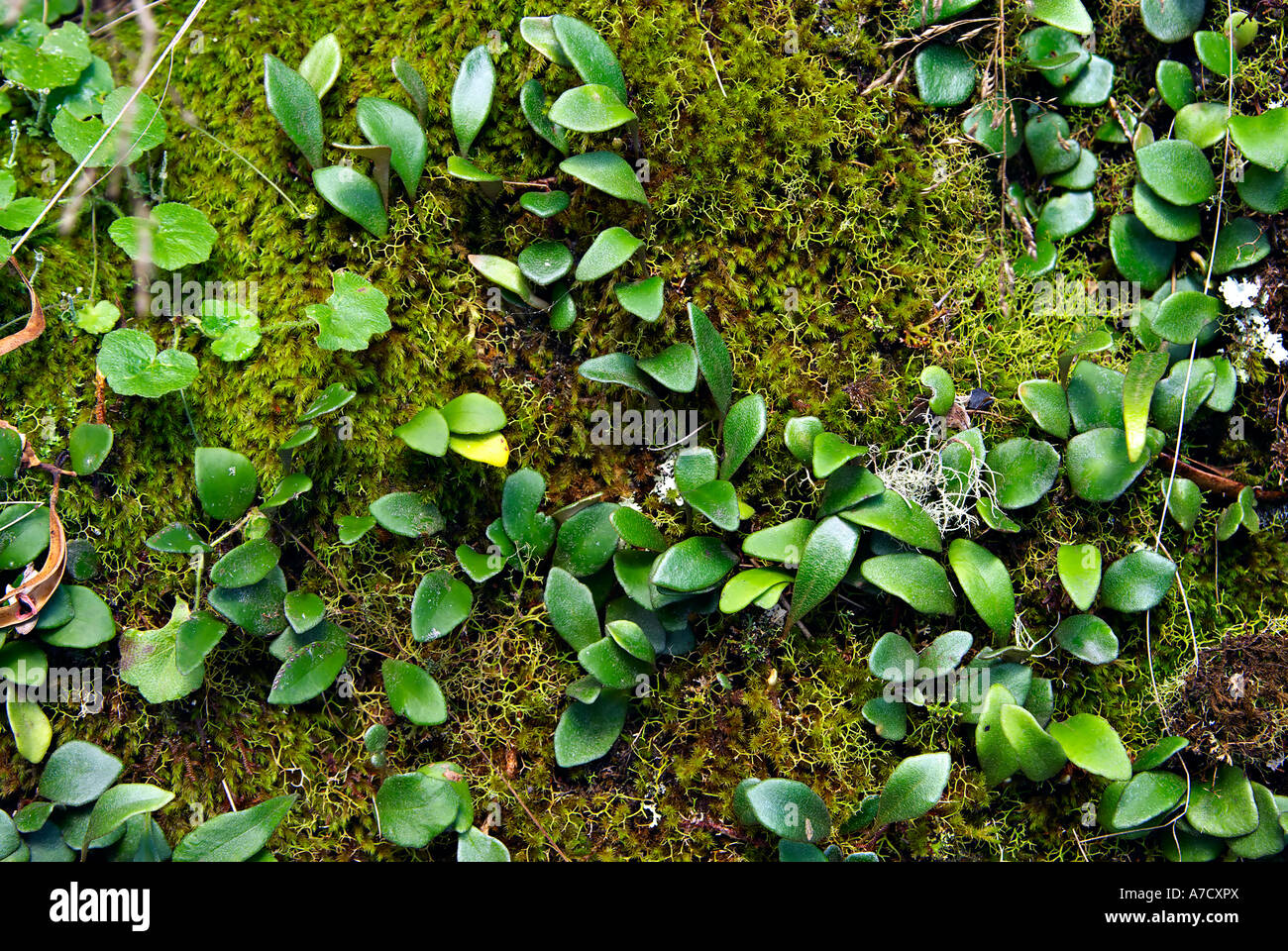 moss and creeper all over a rock in the oxley world heritage rainforest to be nice nature background - Stock Image