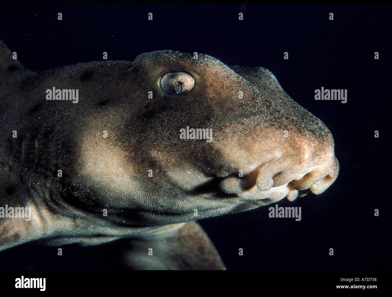 FACE OF A HORN SHARK HETERODONTUS FRANCISCI SOUTHERN CALIFORNIA - Stock Image