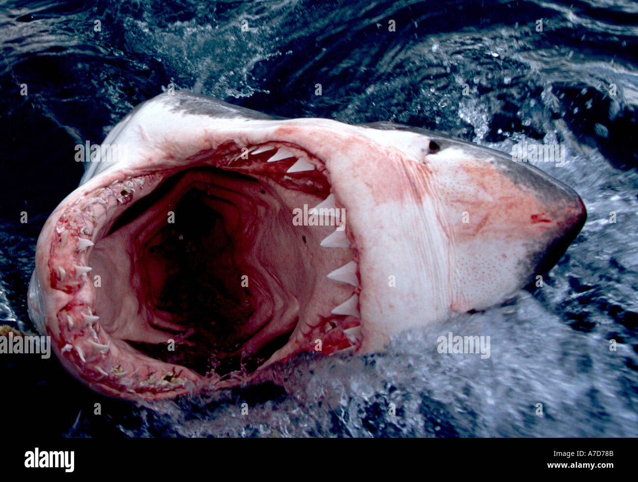 OPEN JAWS OF A GREAT WHITE SHARK CARCHARODON CARCHARIAS SOUTH AFRICA Stock Photo