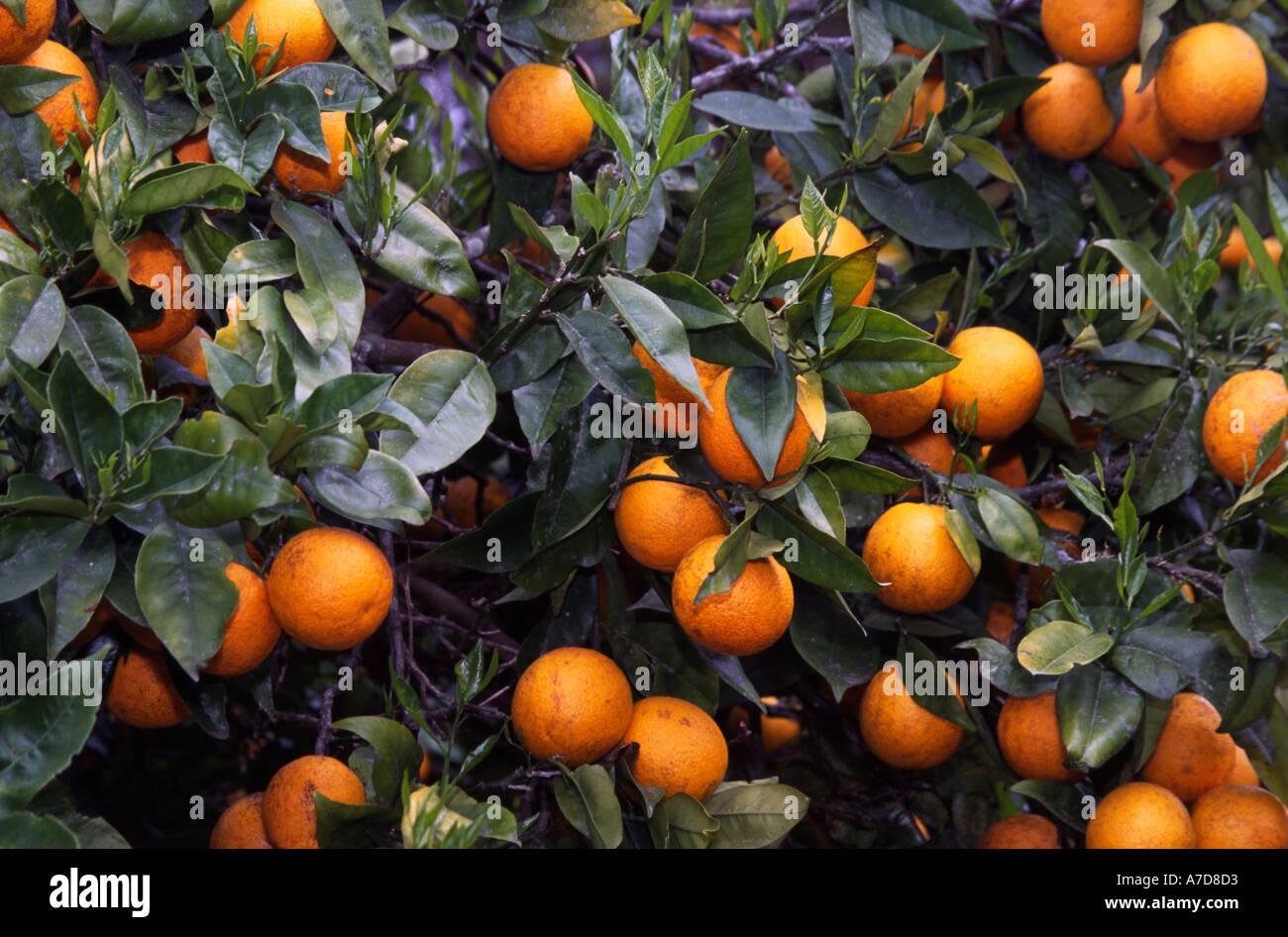 Oranges Kerikeri Northland New Zealand - Stock Image