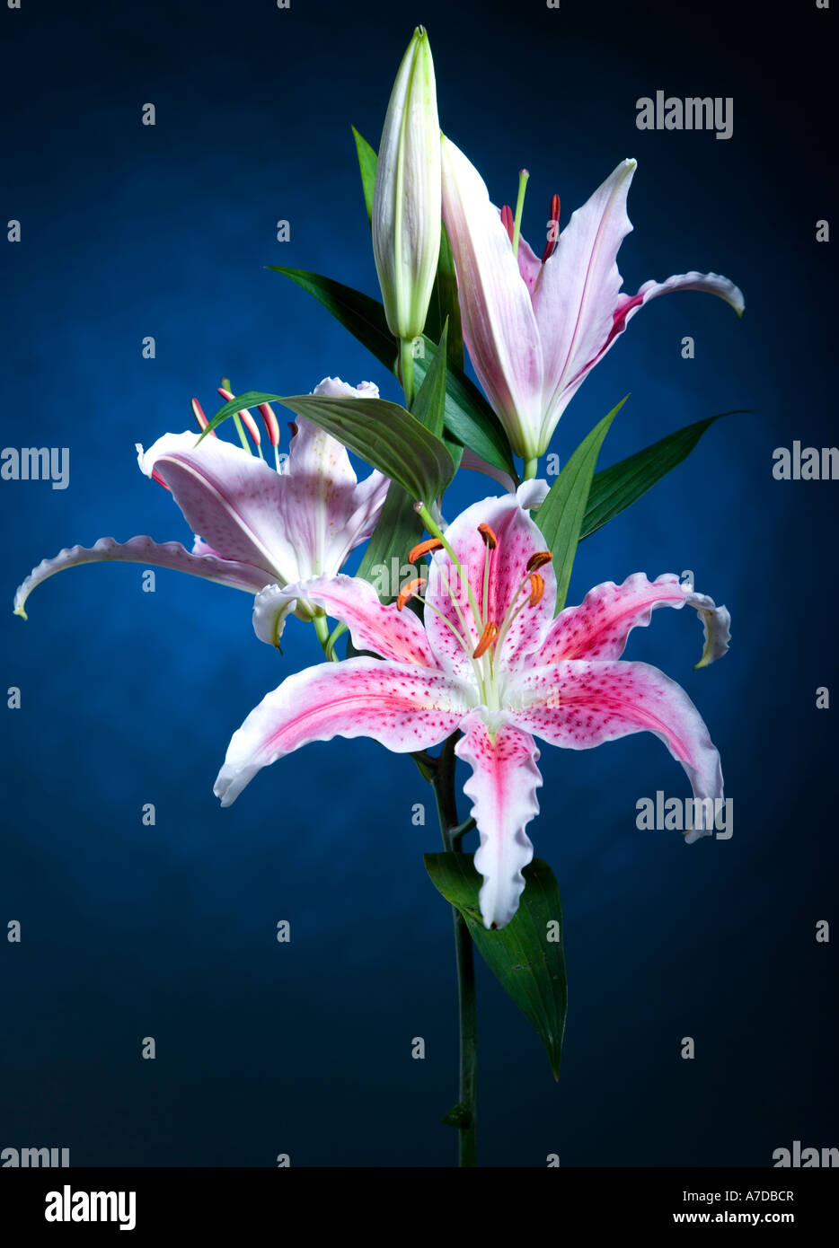 Lilies In Moonlight Stock Photos Lilies In Moonlight Stock Images