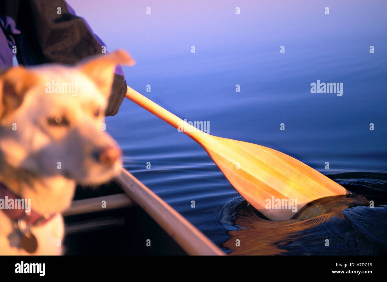 Dog in Wooden canoe with paddle MR - Stock Image