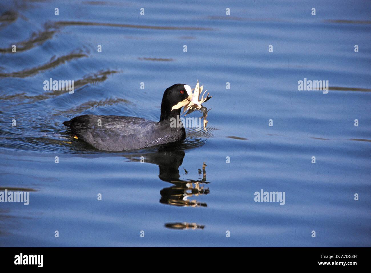 Blaesshuhn Blaessralle fulica atra coot europe europa - Stock Image