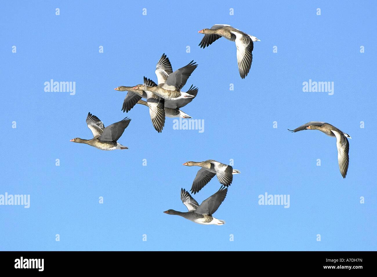 Graugans Graugaense anser anser grey lag goose geese graylag goose europe europa Stock Photo