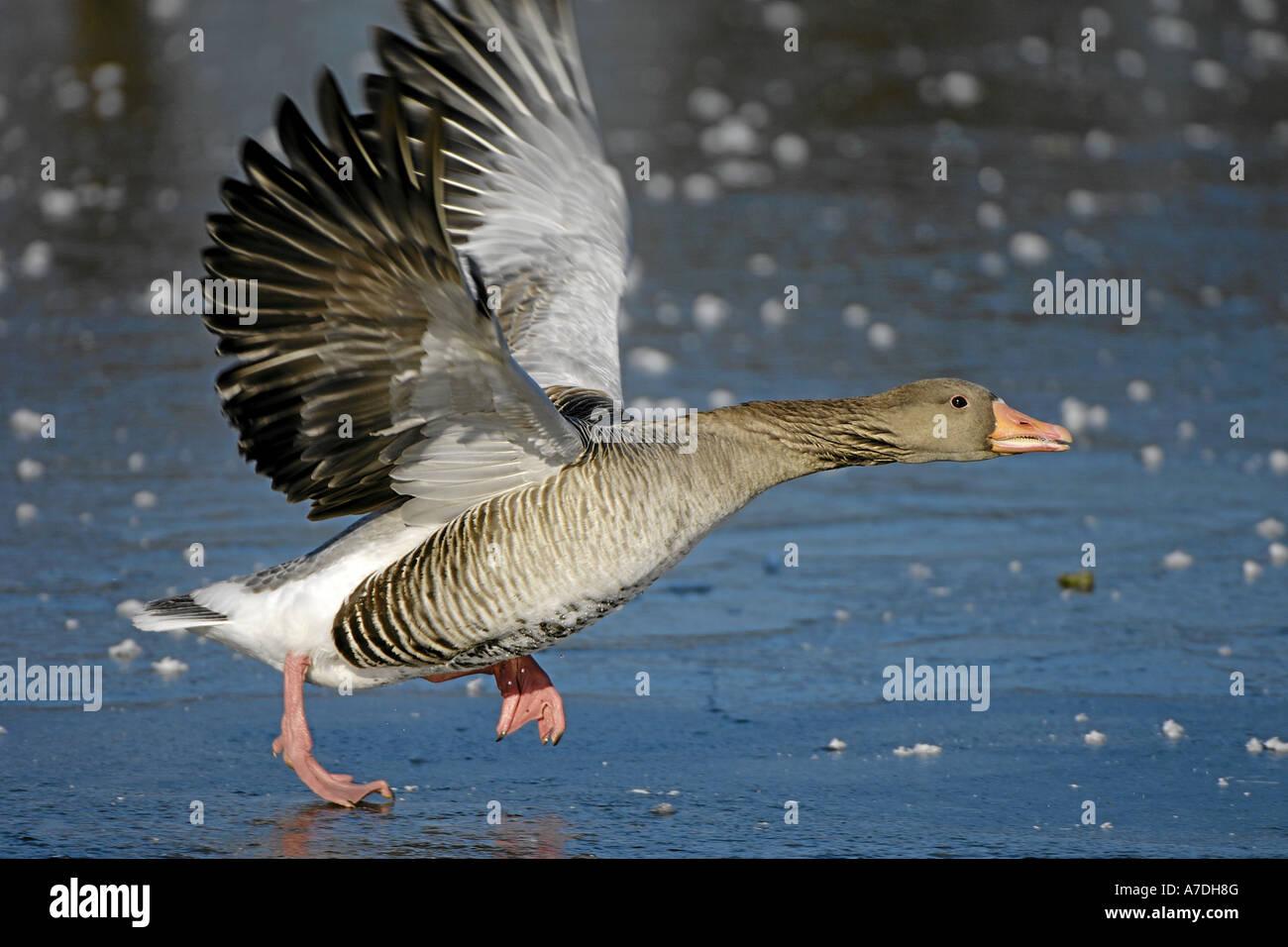 Abfliegende Graugans Muenchen Deutschland Stock Photo