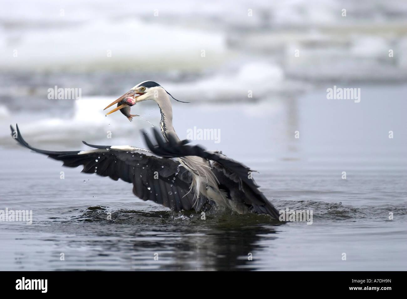 Graureiher der einen Fisch erbeutet hat beim Starten und Abfliegen aus dem Wasser - Stock Image