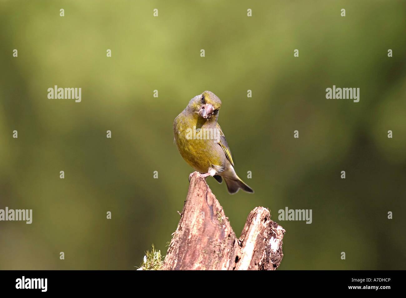 Gruenfink auf dem Baum aufgenommen im Hamra Nationalpark in Schweden Greenfinch Carduelis chloris Gruenfink Europa Stock Photo