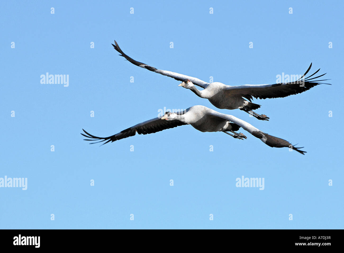 Common Crane Grus grus Graukranich Europa europe Tiere animals Vogel Voegel birds kranich crane Stock Photo