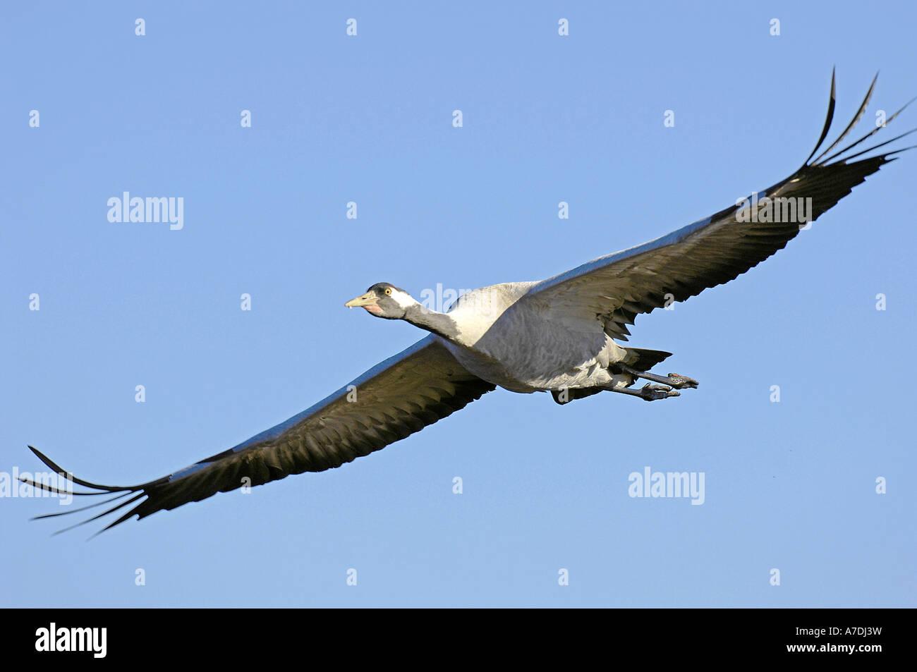 Common Crane Grus grus Graukranich Europa europe Tiere animals Vogel Voegel birds kranich crane Stock Photo