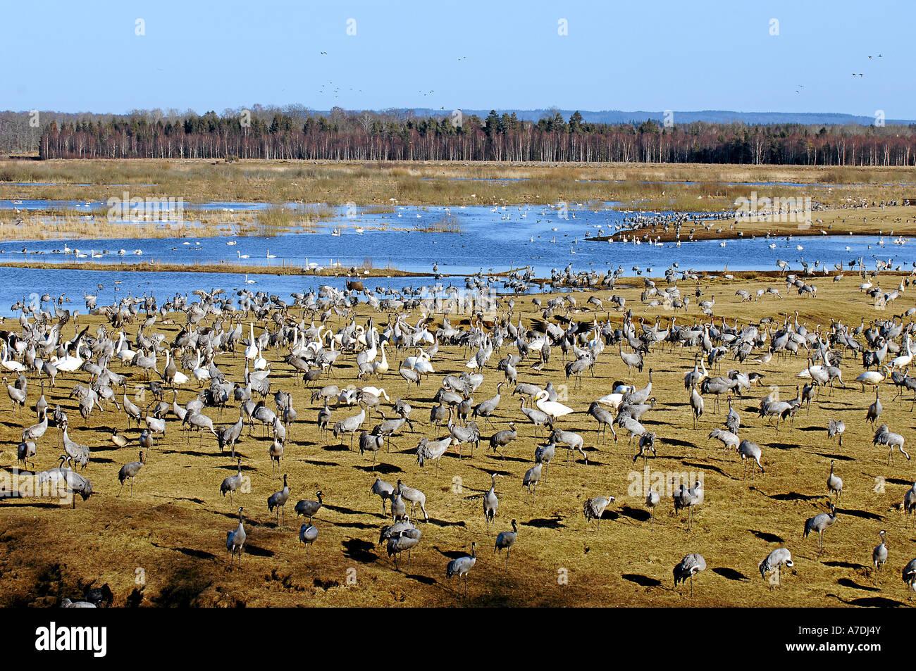 Vogelzug Tanz der Kraniche Blick auf Tanzplatz Hornborga See Vogelzug Stock Photo