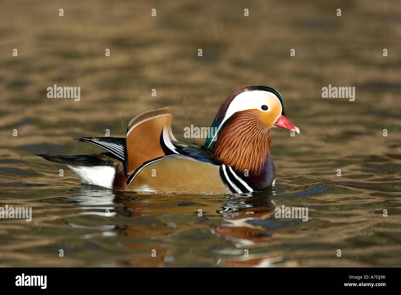 Mandarinenente Madarin Duck Drake Aix galericulata Stock Photo
