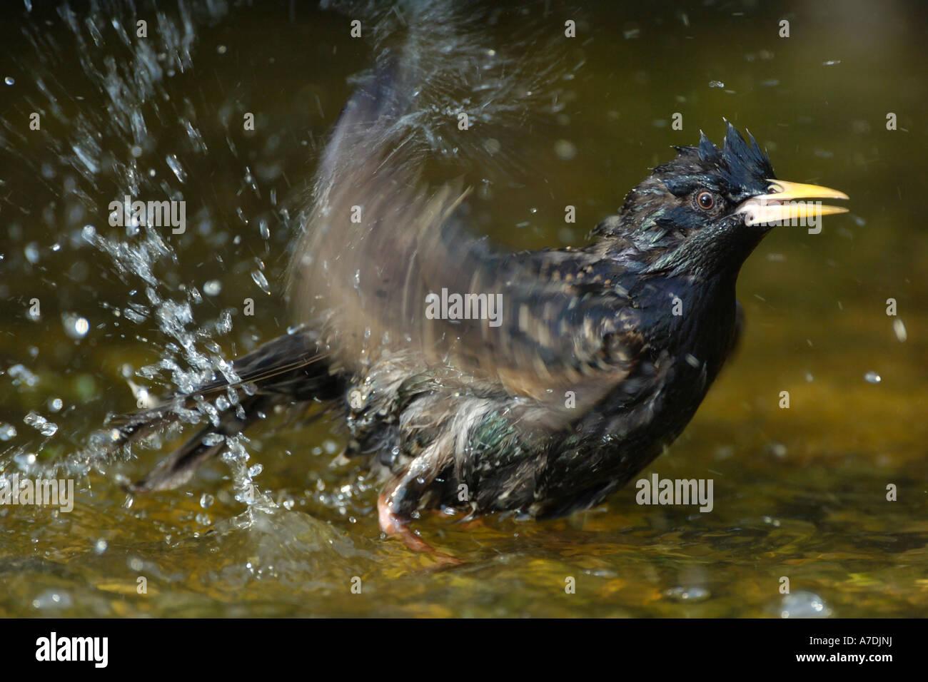 Badender Star Mittelfranken Bayern Deutschland Star European Starling Sturnus vulgaris Stock Photo