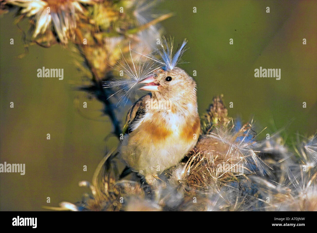 Stieglitz Distelfink europa europe European Goldfinch Carduelis carduelis - Stock Image