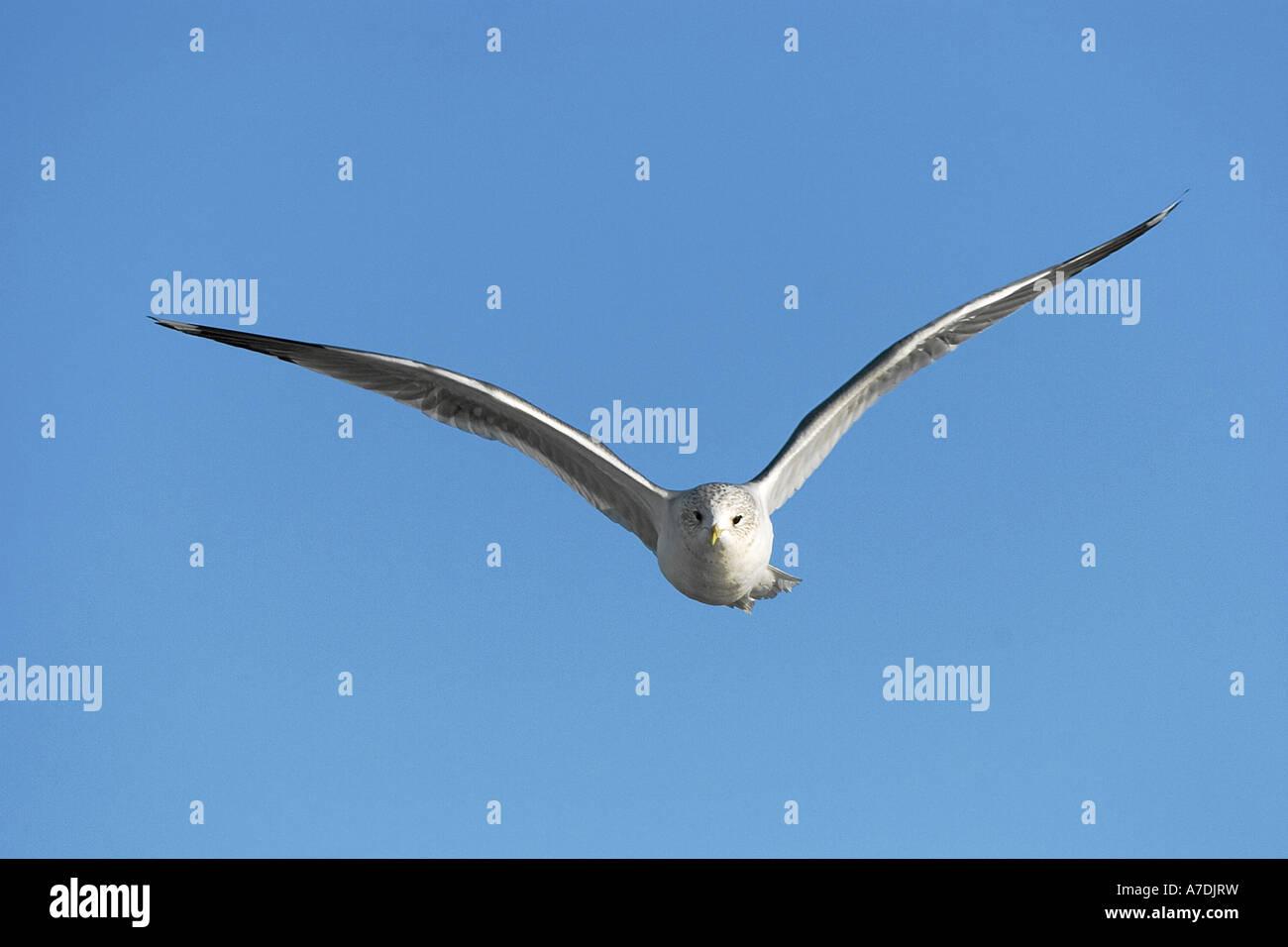 Sturmmoewe Common Gull Larus canus europa europe Stock Photo
