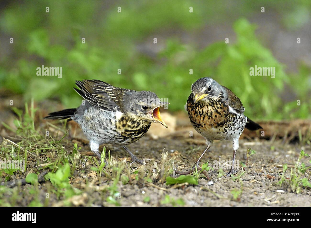 Wacholderdrossel Turdus pilaris Fieldfare Krummetvogel Europe Europa Stock Photo