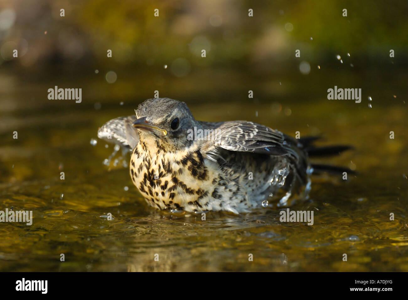 Wacholderdrossel Turdus pilaris Fieldfare Krummetvogel Stock Photo