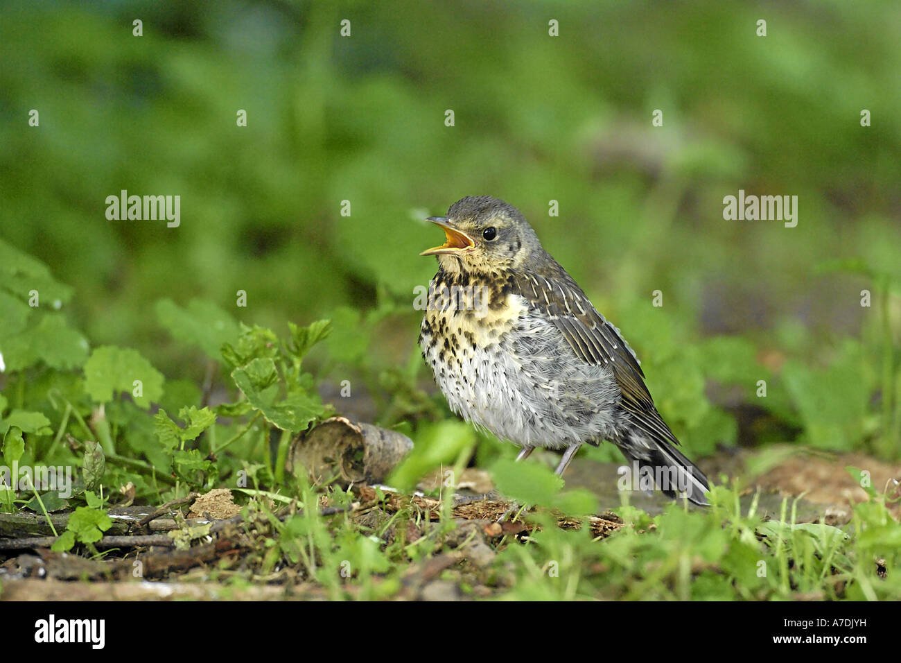 Wacholderdrossel Turdus pilaris Fieldfare Krummetvogel Stock Photo
