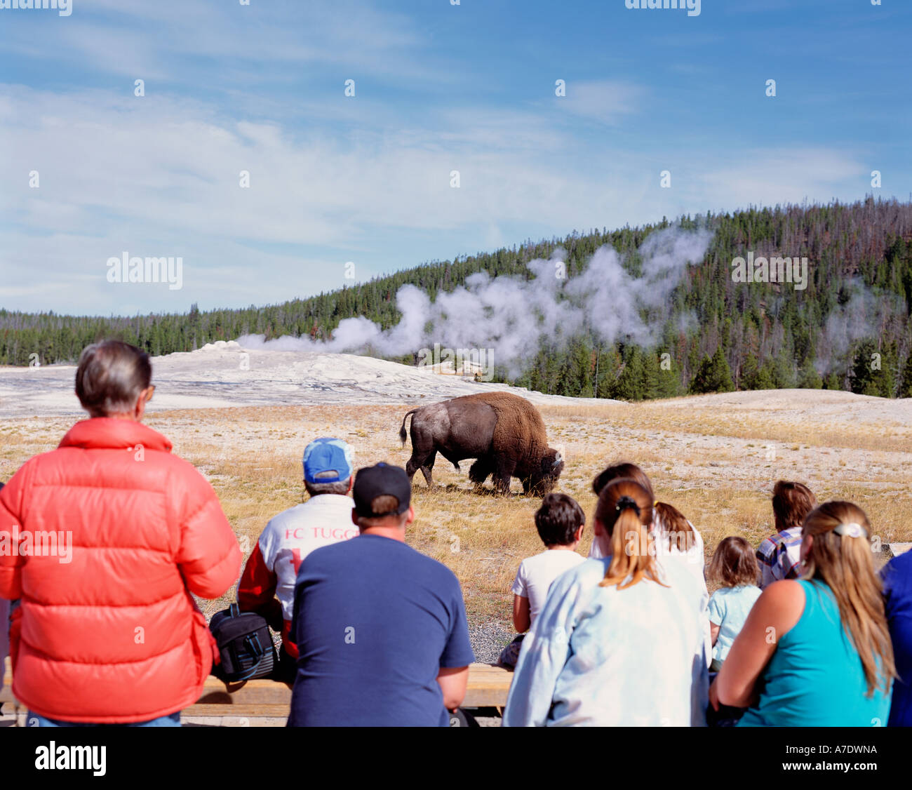 Usa Wyoming Yellowstone National Park Bison And Old Faithful