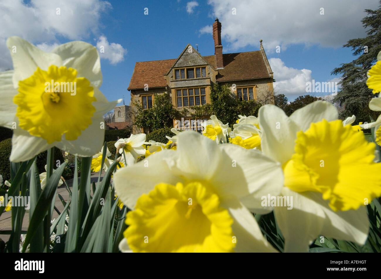 Daffodils at Le Manoir Quat Saison in Great Milton Oxon UK.One of the best hotels and  restaurants in the world Stock Photo