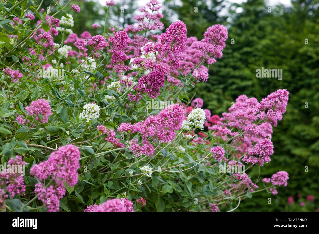 Red valerian with pink flowers centranthus ruber and white flowers red valerian with pink flowers centranthus ruber and white flowers centranthus ruber albus in cottage garden wales uk mightylinksfo