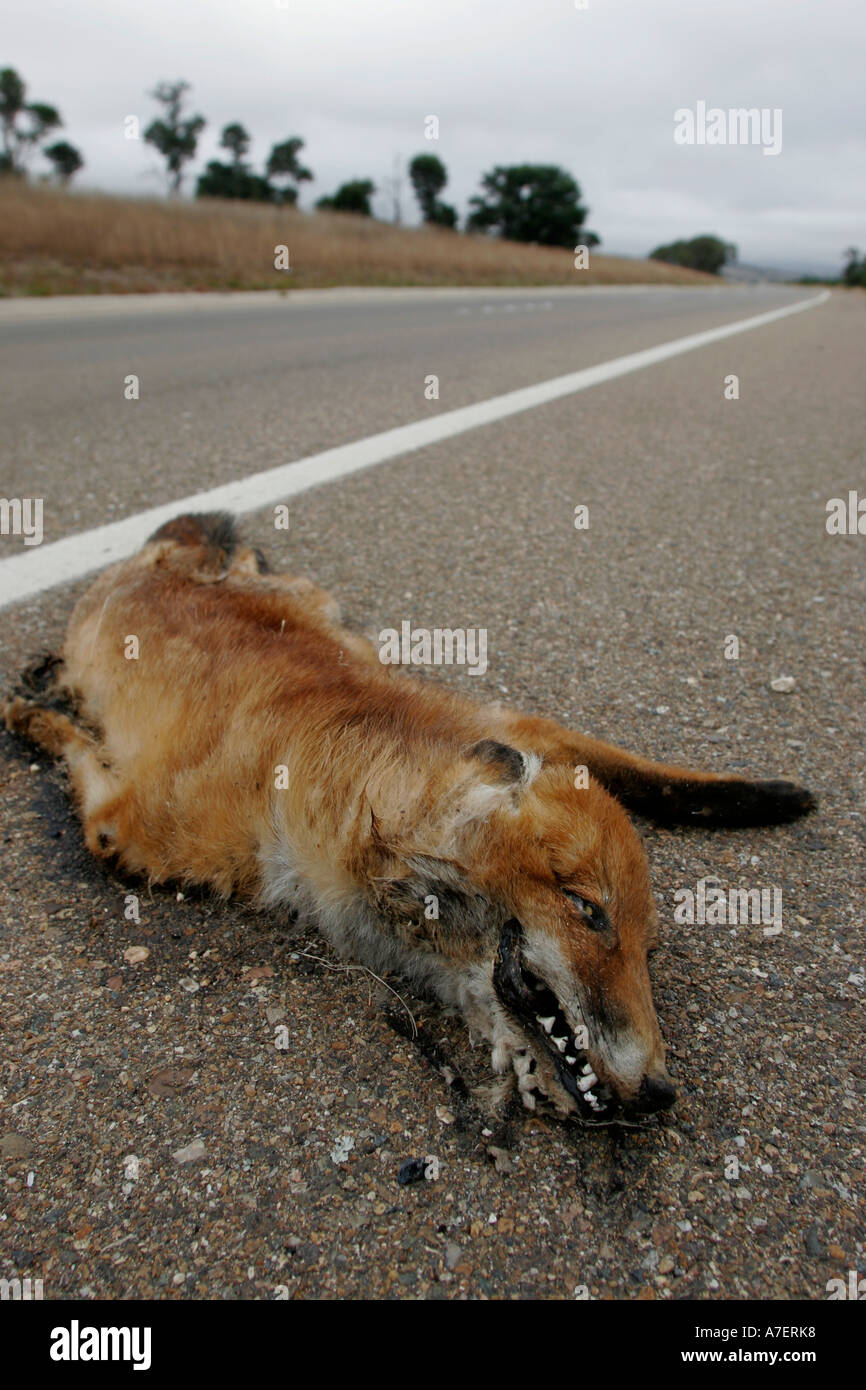 Road Kill dead fox after being run over on a road Stock Photo