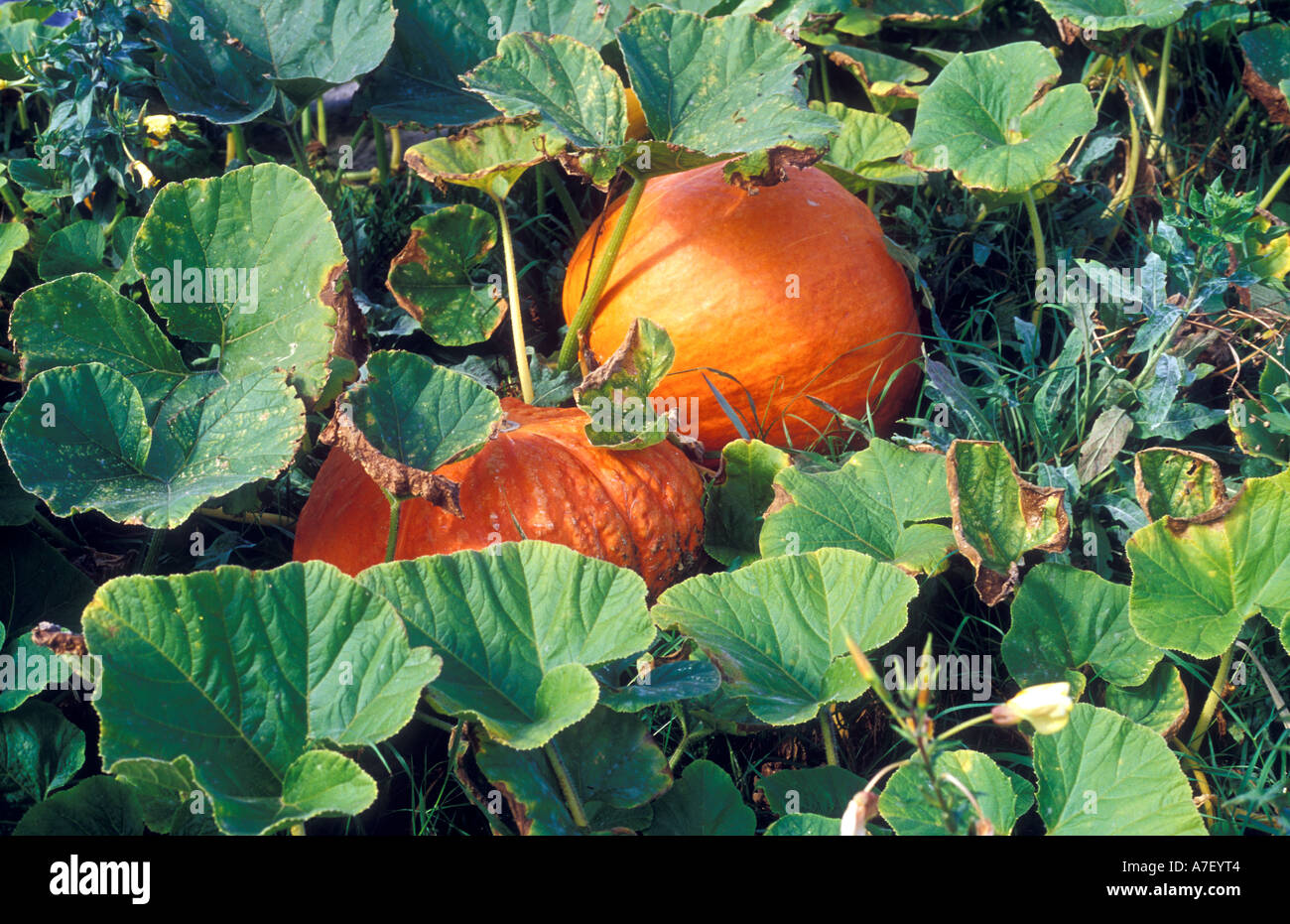 Fully grown giant pumpkins growing on the ground - Stock Image