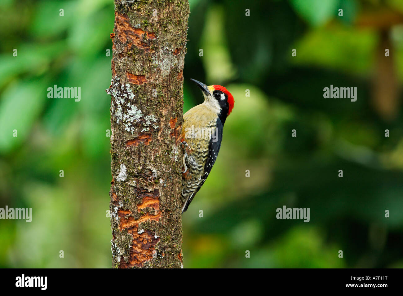 Red-crowned Woodpecker, Melanerpes rubricapillus, Costa Rica - Stock Image