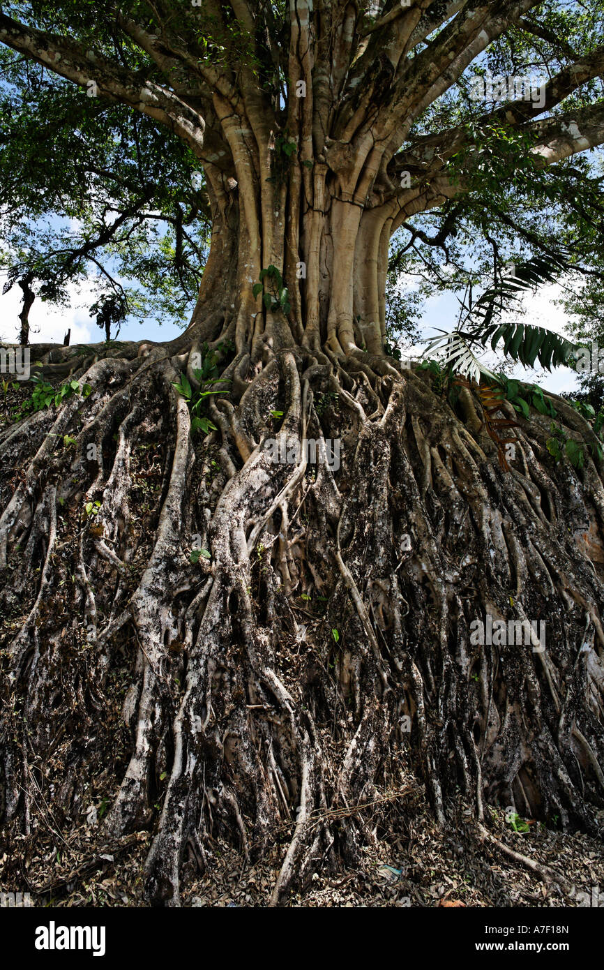 Roots of a big tree, Banyan Tree, Ficus benghalensis, Costa Rica - Stock Image
