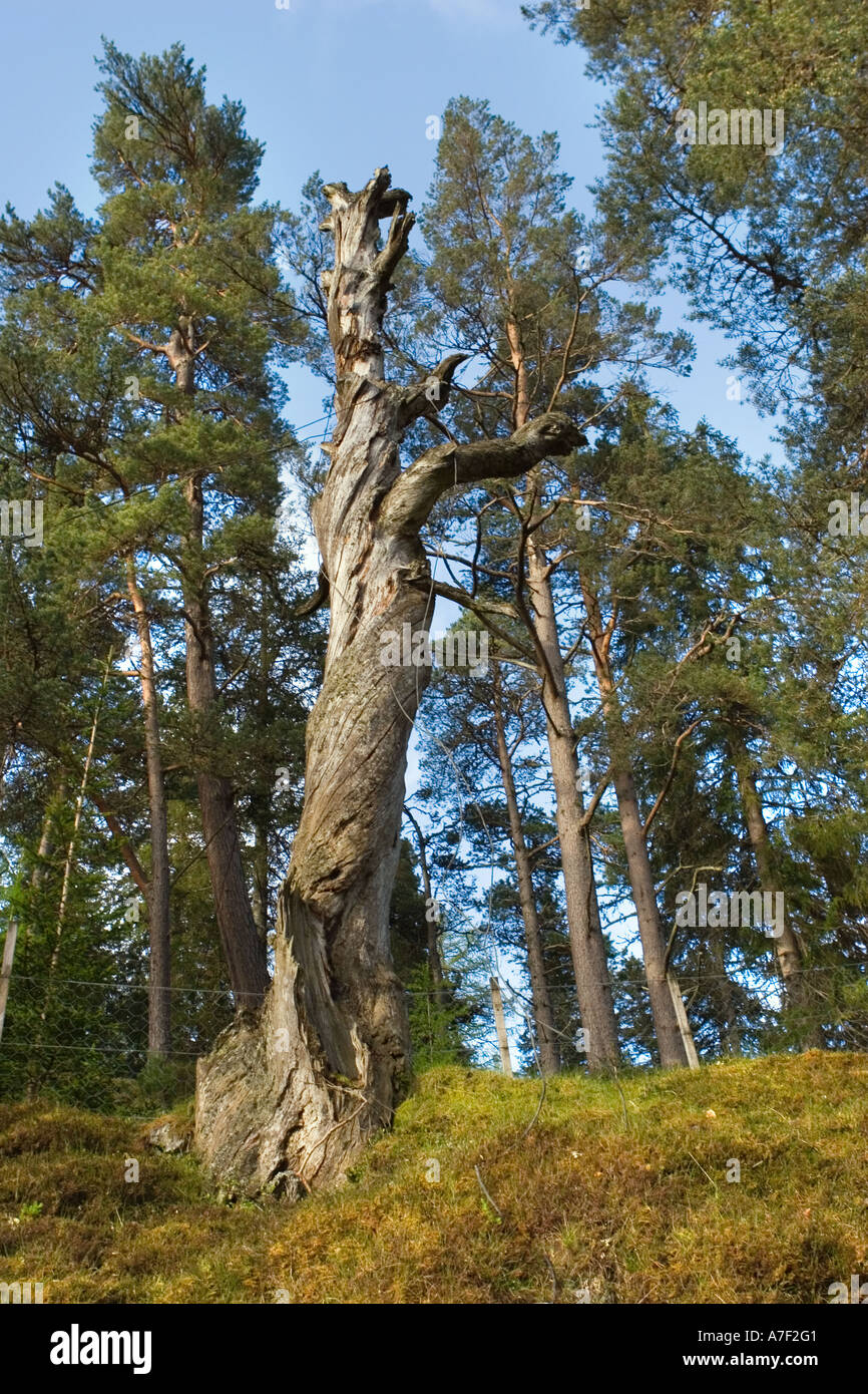 The legend of the hanging tree Inverey hamlet, Braemar, Cairngorms National Park, Aberdeenshire Scotland uk - Stock Image