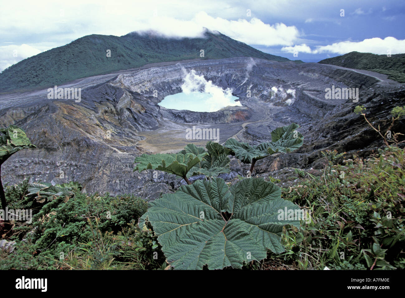 Costa Rica, Volcano Poas National Park, Poas Volcano. Gunnera insignis above lagoon in steaming crater - Stock Image