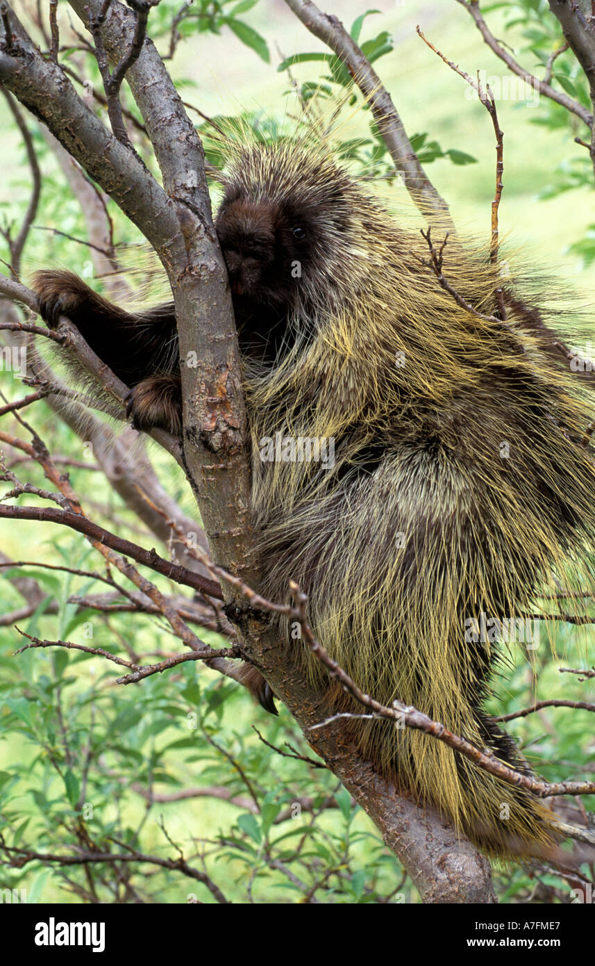 North America, USA, Alaska, Denali NP, North American Porcupine (Erethizon dorsatum) Stock Photo