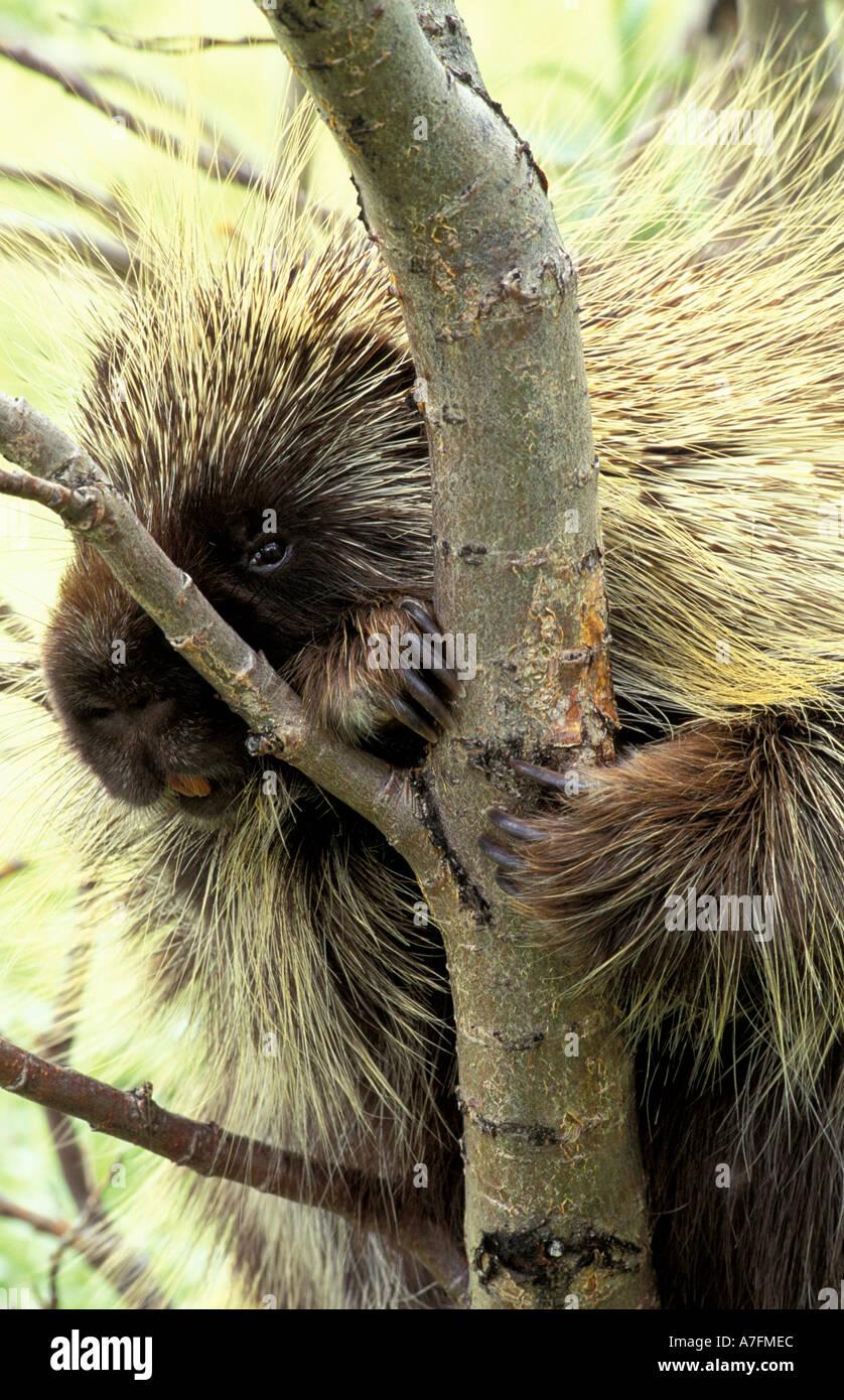 North America, USA, Alaska, Denali NP, North American porcupine (Erethizon dorsatum) Stock Photo