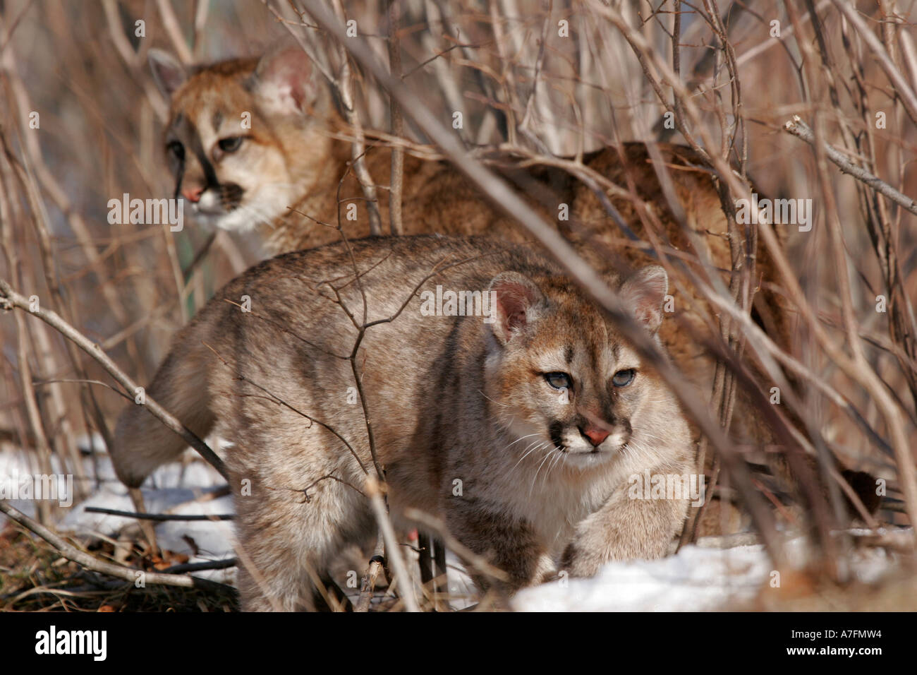Cougar Cubs Stock Photos Amp Cougar Cubs Stock Images Alamy