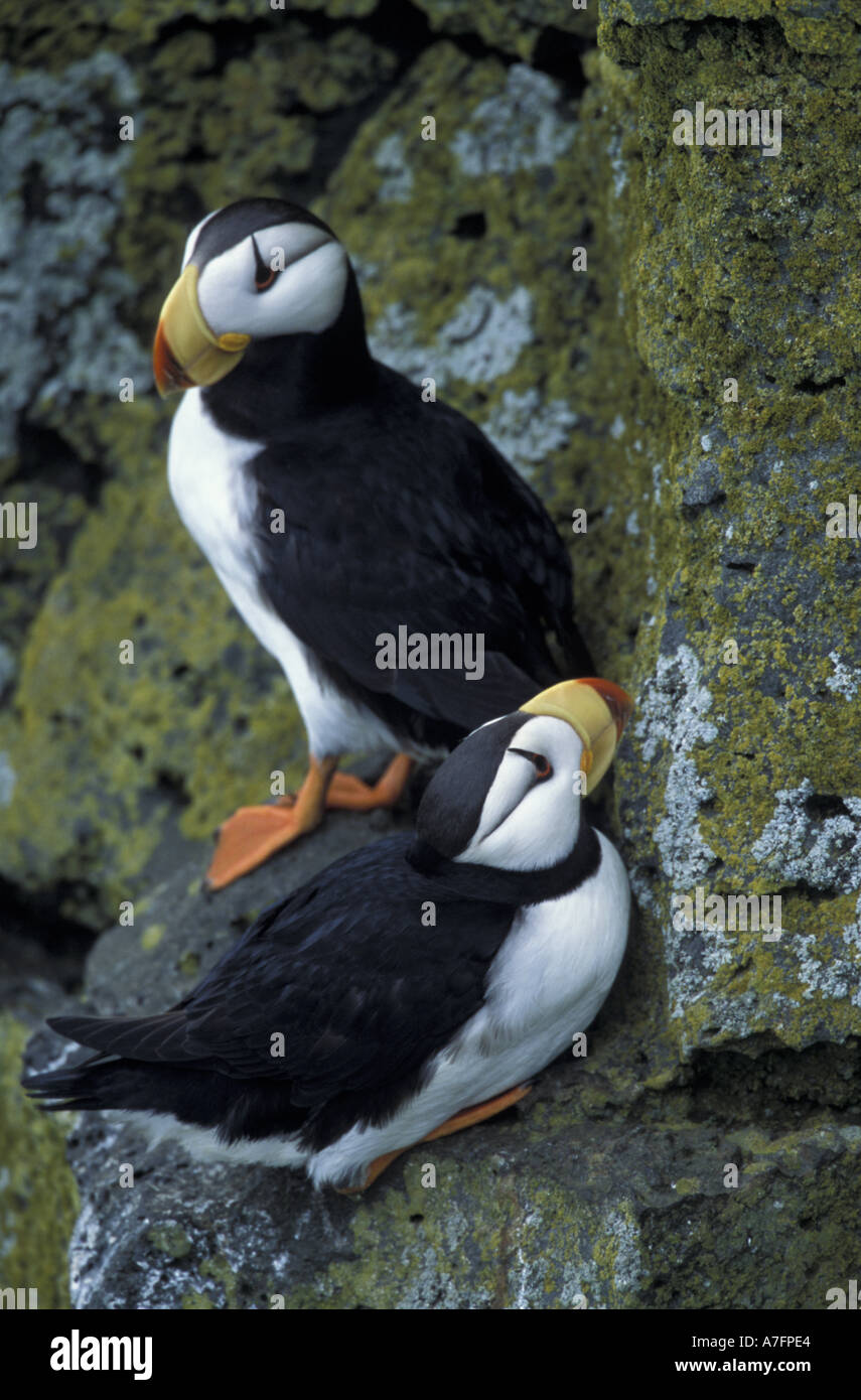 Alaska St Paul Island The Pribilofs Bering Sea Horned Puffins Near