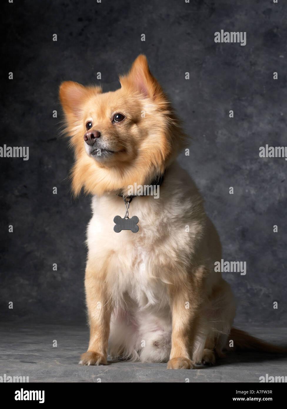 Pomeranian Dog vertical - Stock Image