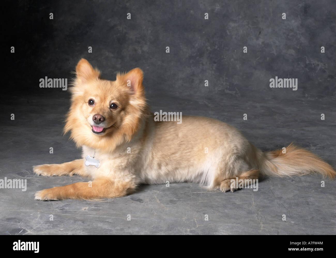 Pomeranian Dog horizontal - Stock Image