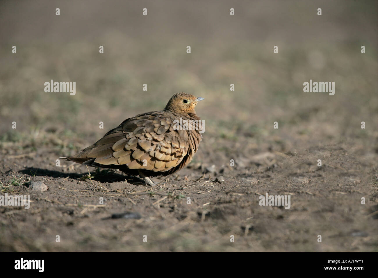 YELLOW THROATED SANDGROUSE Pterocles gutturalis  Tanzania Stock Photo
