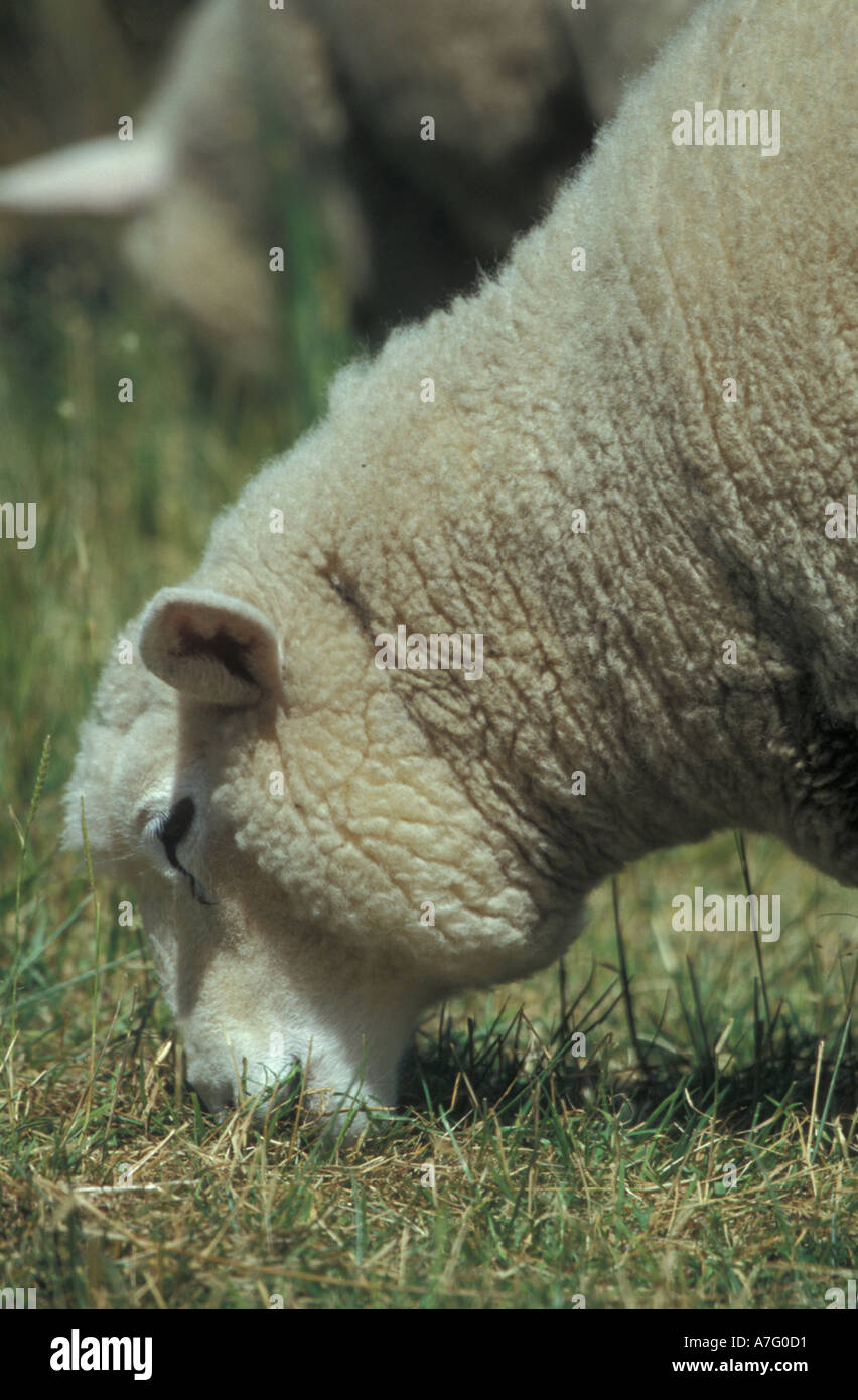 sheep in a field in new zealand ready to be killed for their lamb one of new zealands main exports - Stock Image