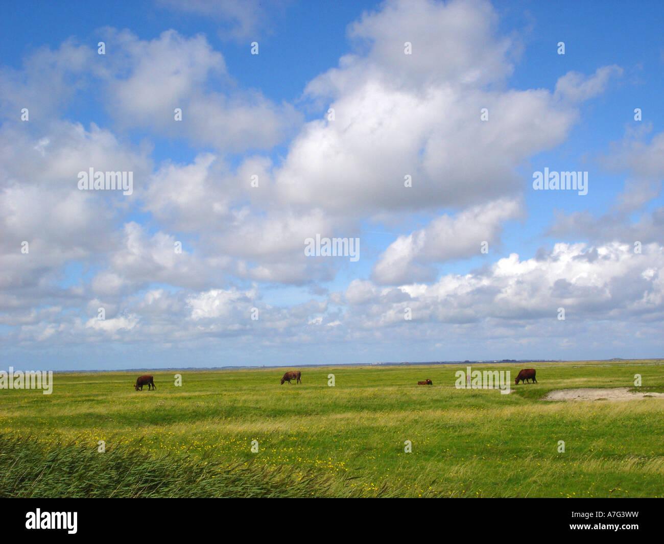 Flachland Wiesen weidende Kuehe lowland meadows pasturing cows Stock Photo