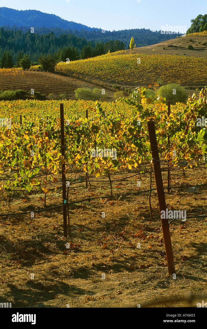 USA, California, Anderson Valley, wine country, fall color in a vineyard - Stock Image