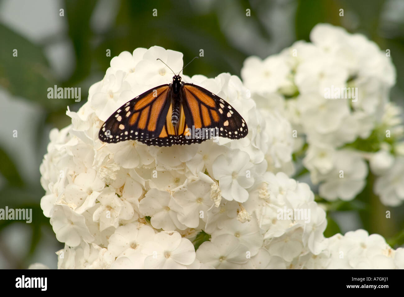 Monarch Butterfly Perched On Tropical White Flowers Seattle Stock